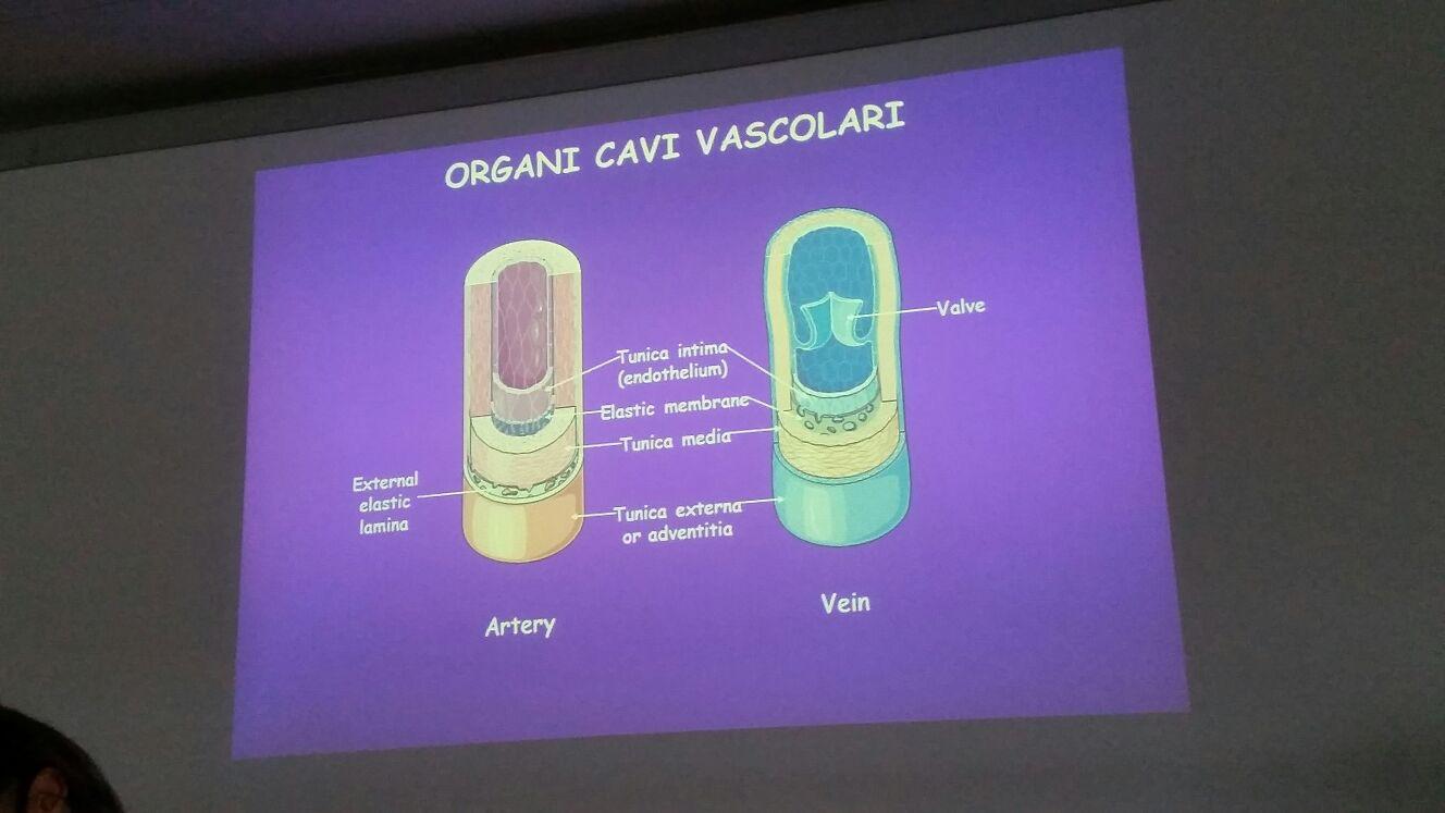Organi vavi vascolari